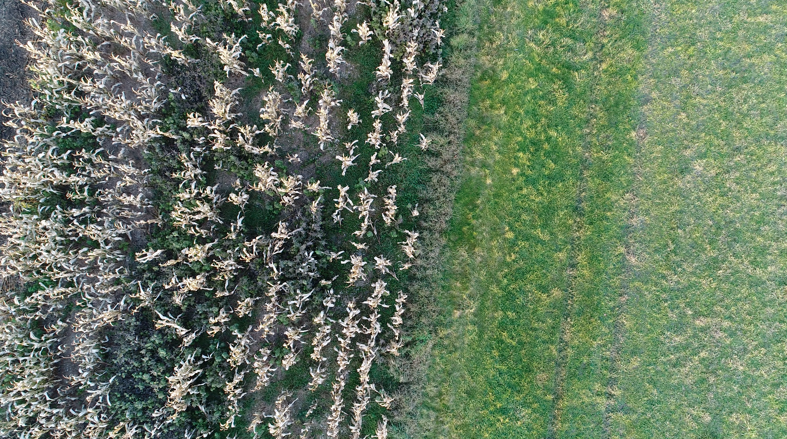Aerial image of maize field by drones